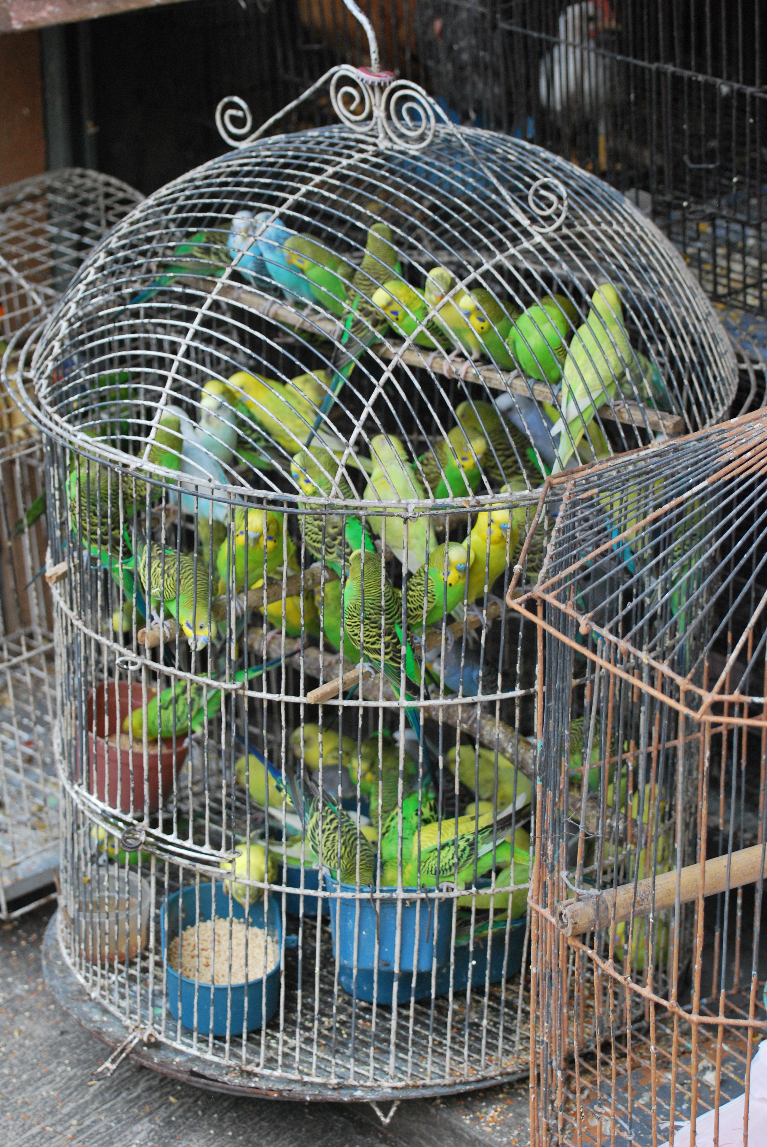 File:Wildlife trade crowded birdsWikimedia Commons