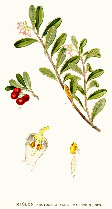 bearberry drawing