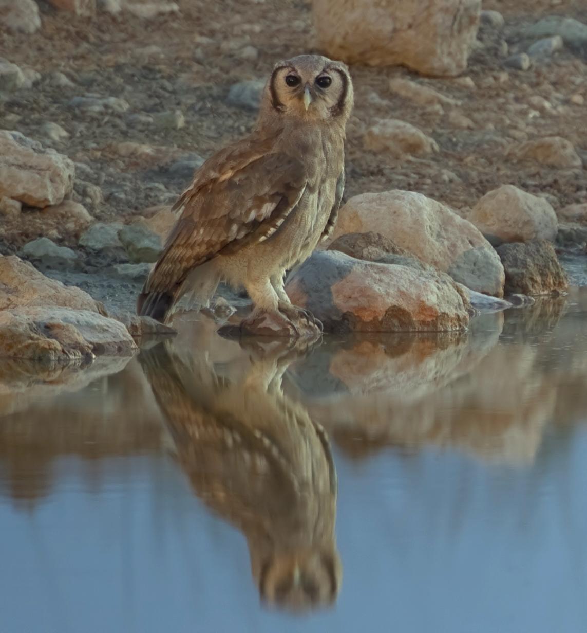 Verreaux's eagle-owl - Wikipedia