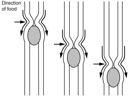 Hur maten pressas nedåt i matstrupen med peristaltiska rörelser.