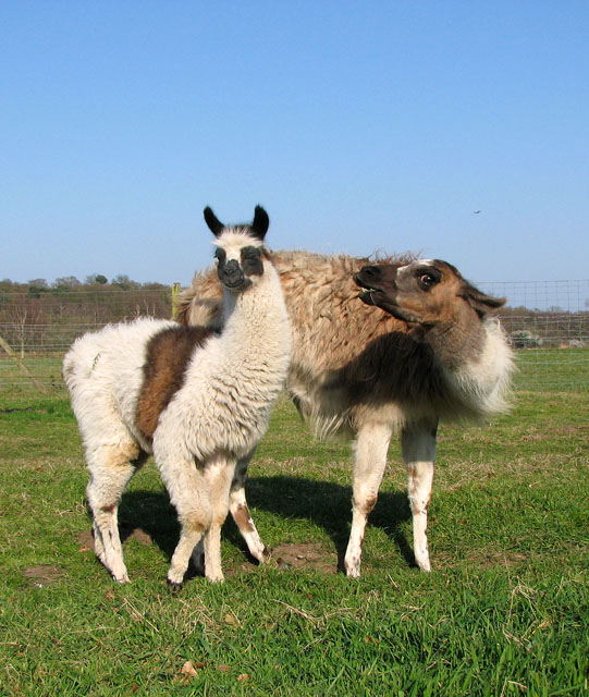 File:A Llama And Its Offspring