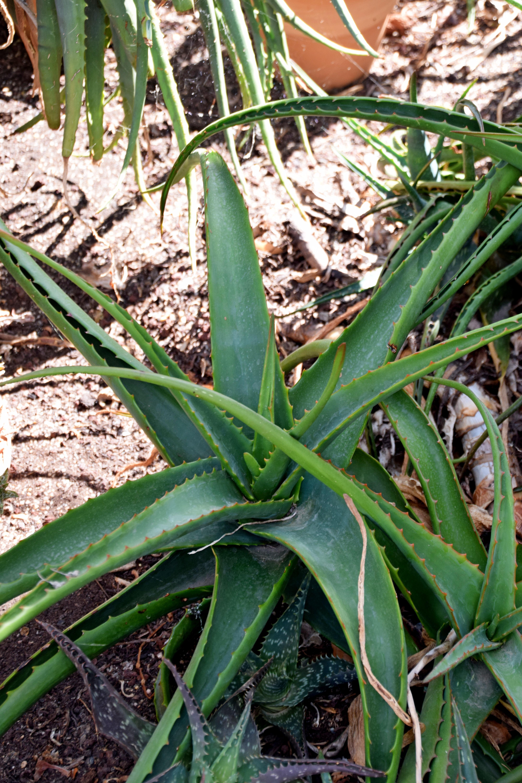 File aloe camperi in jardin des plantes de wikimedia commons - Toulouse jardin des plantes ...
