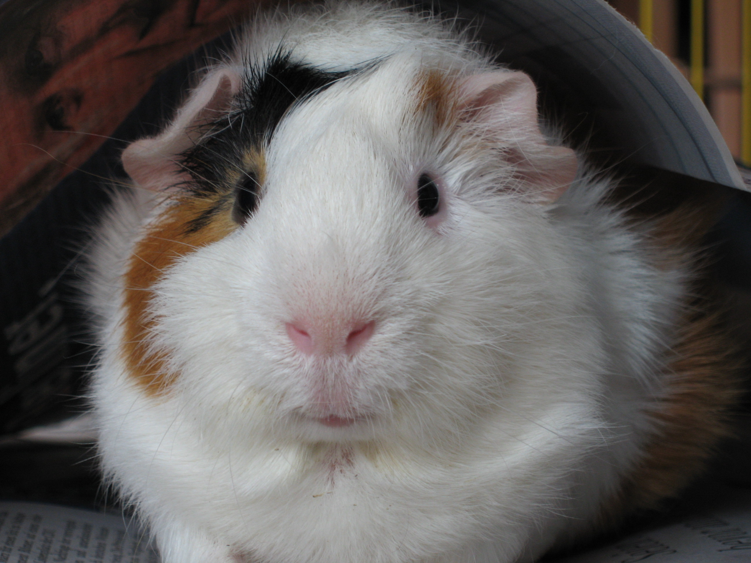Can Guinea Pigs Eat Carrot Cake