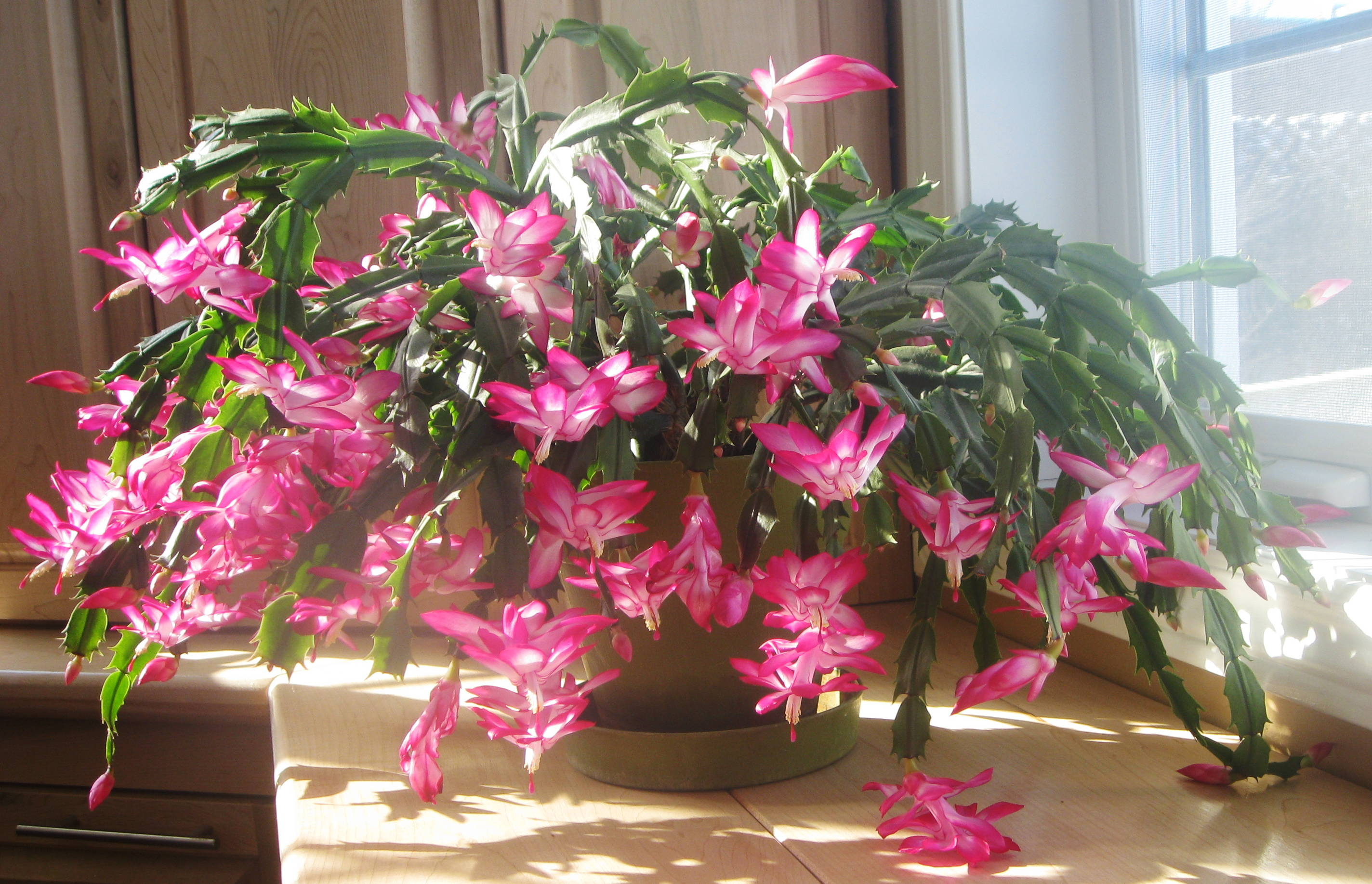 Christmas Cactus Bloom.Schlumbergera Wikipedia