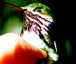 CalliopeHummingbird23.jpg