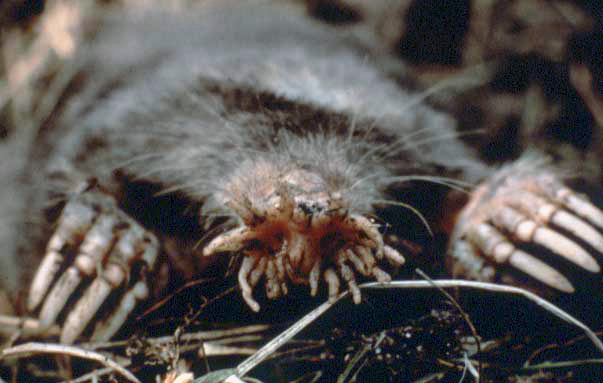 Star-nosed mole - Wikipedia