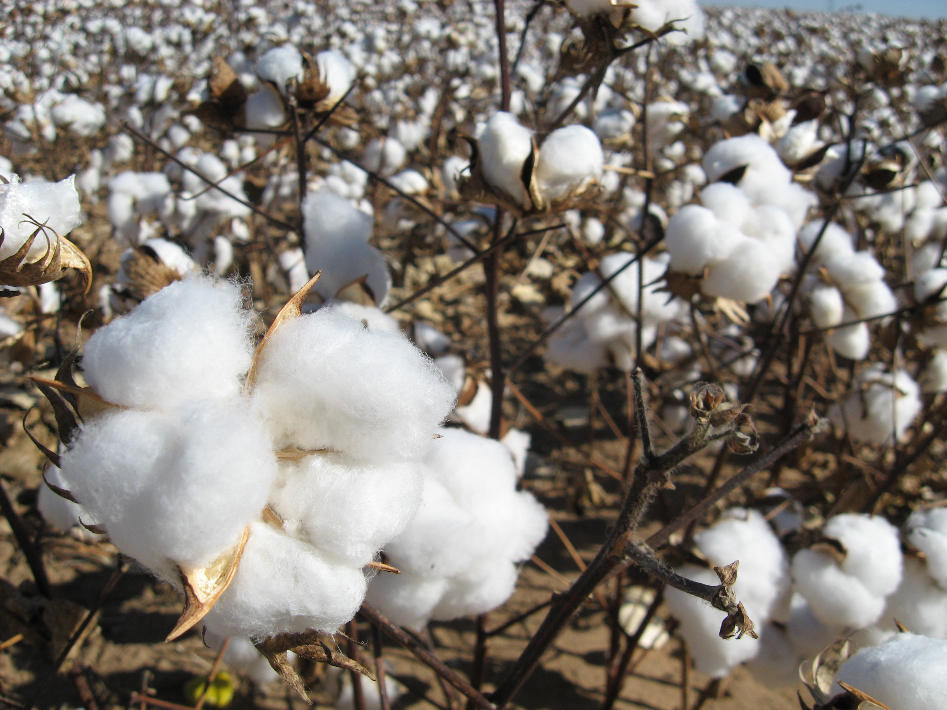 File:Cotton field kv05.jpg - Wikimedia Commons