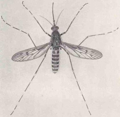 File:Culiseta annulata from Marshall 1938.jpg