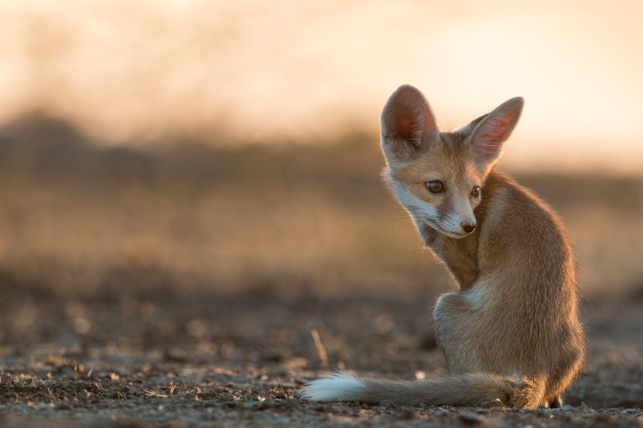 публикуем картинки пустынных лисичек сделать