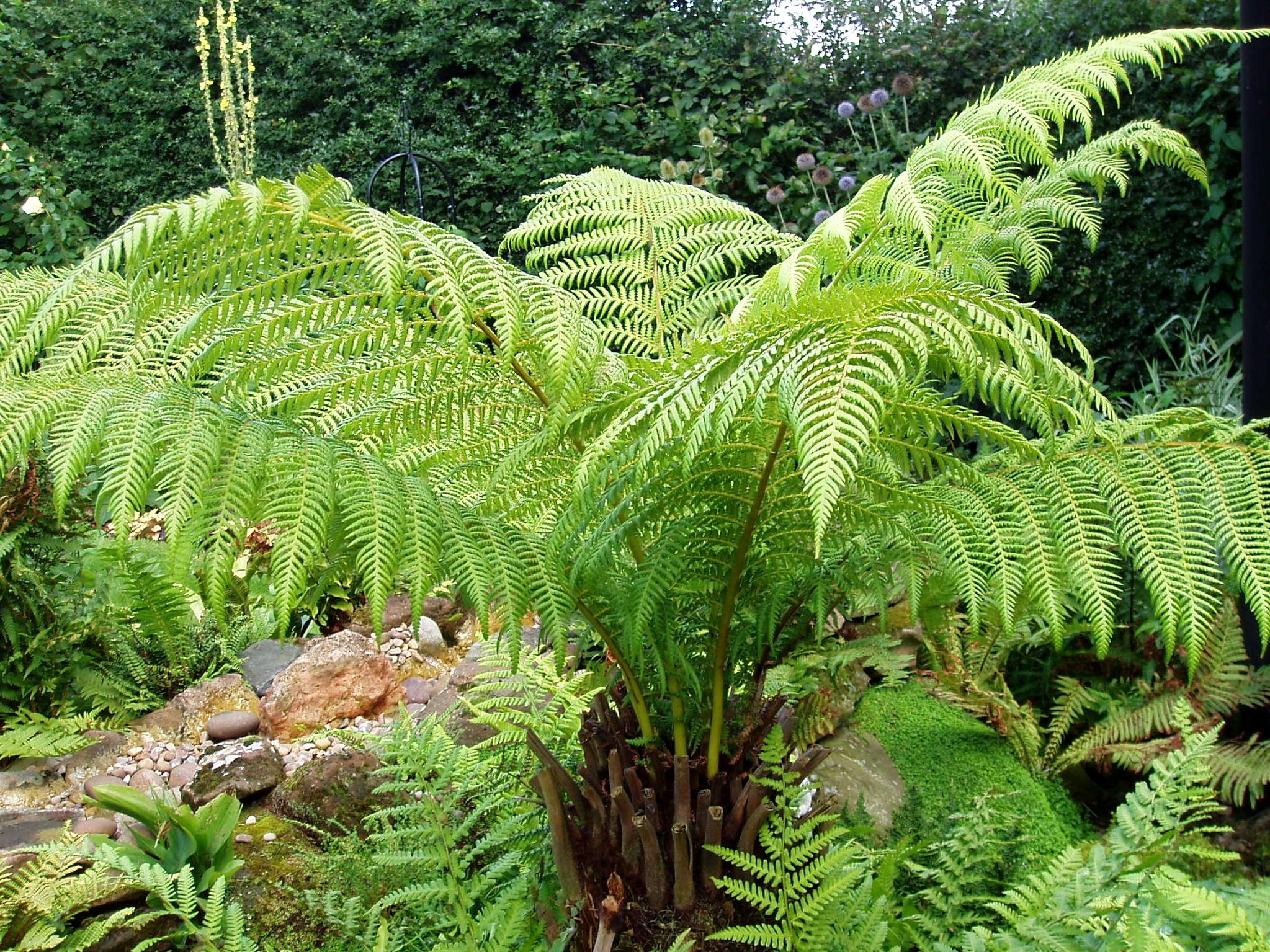 File dicksonia antarctica wikimedia commons for Plantes exterieur sans entretien