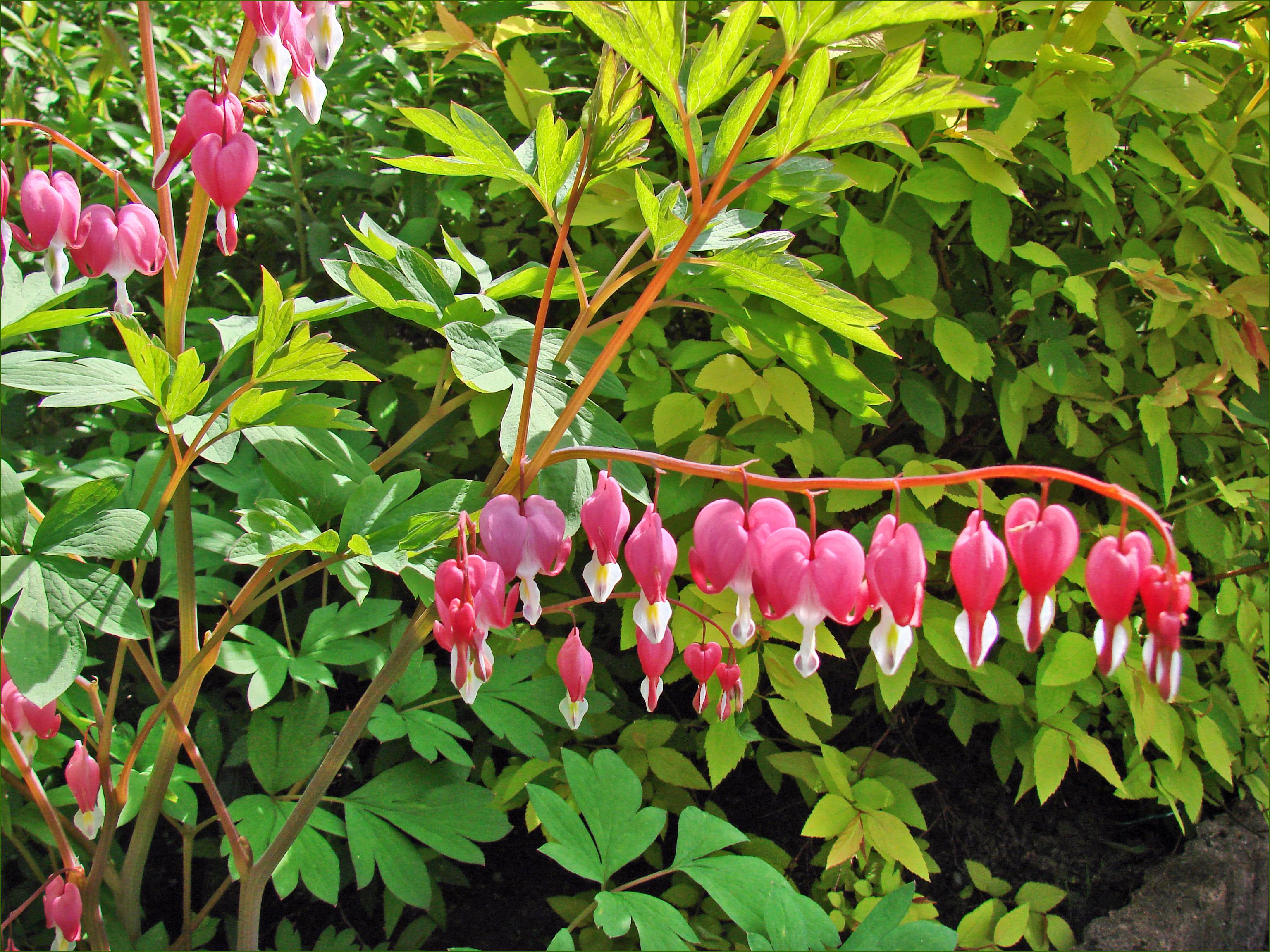 file fleurs de printemps coeur de marie 4544804133 jpg wikimedia commons. Black Bedroom Furniture Sets. Home Design Ideas
