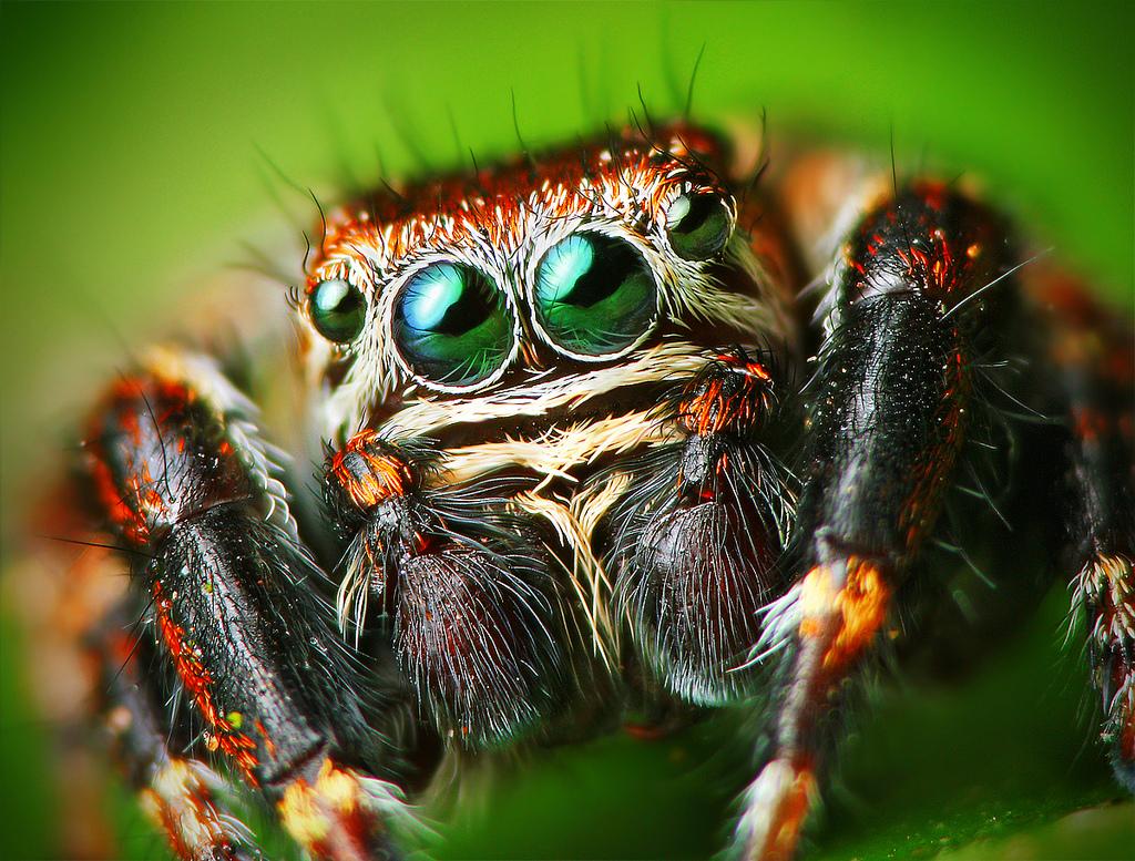[Jeu] Association d'images - Page 20 Flickr_-_Lukjonis_-_Male_Jumping_spider_-_Evarcha_arcuata_%28Set_of_pictures%29