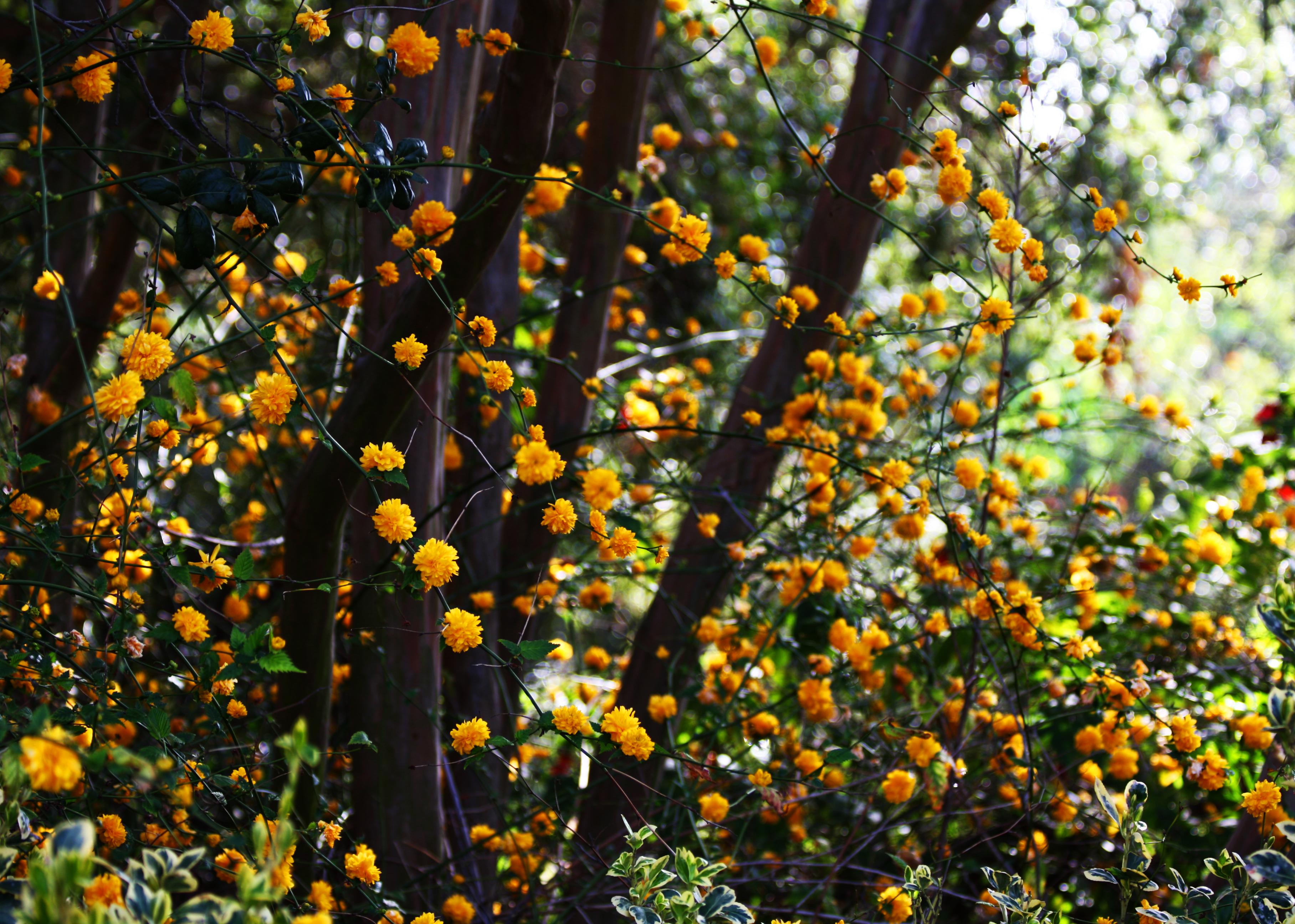 Fileforest Of Yellow Flowers 3388059361g Wikimedia Commons