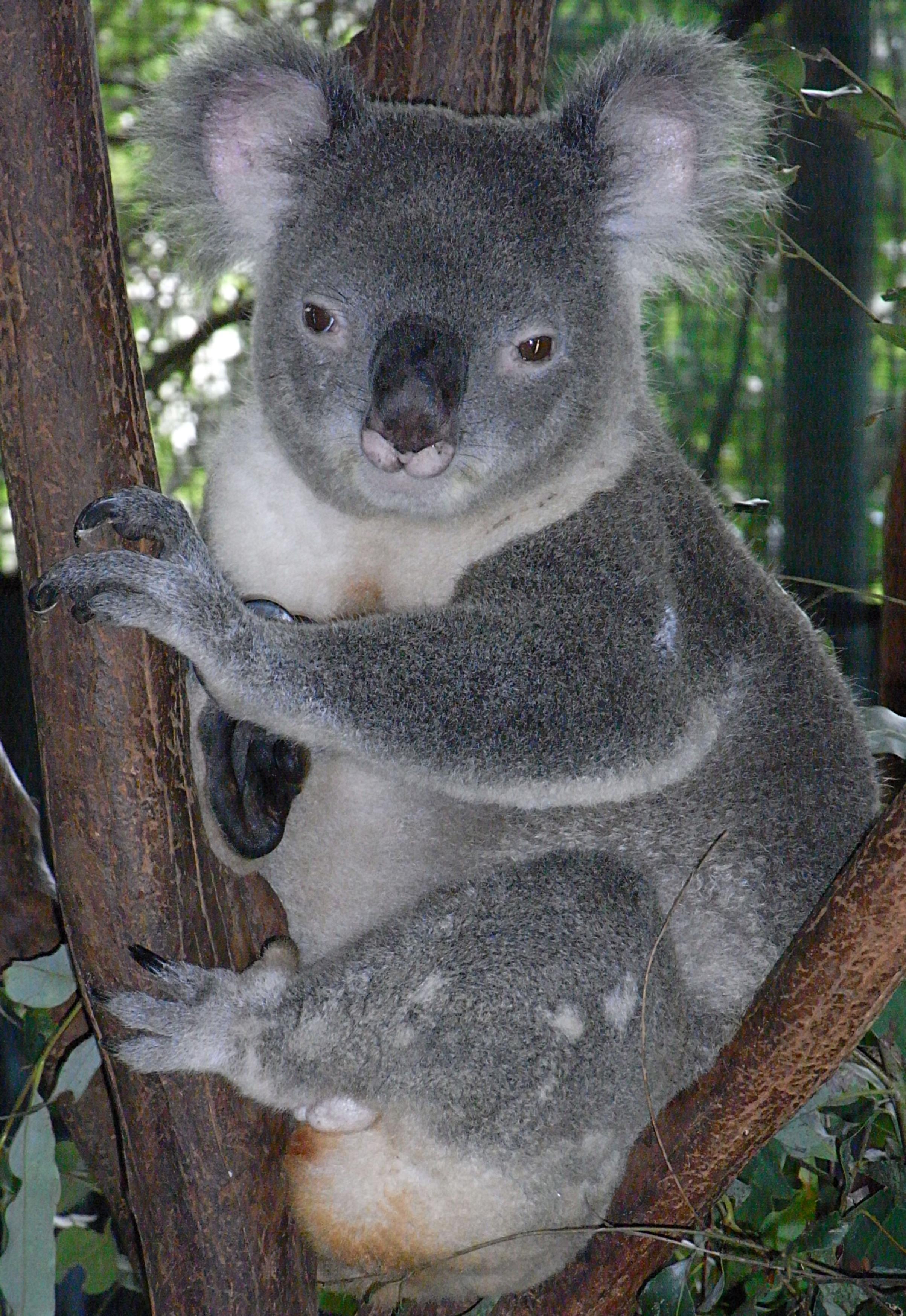 file friendly male koala jpg wikipedia. Black Bedroom Furniture Sets. Home Design Ideas