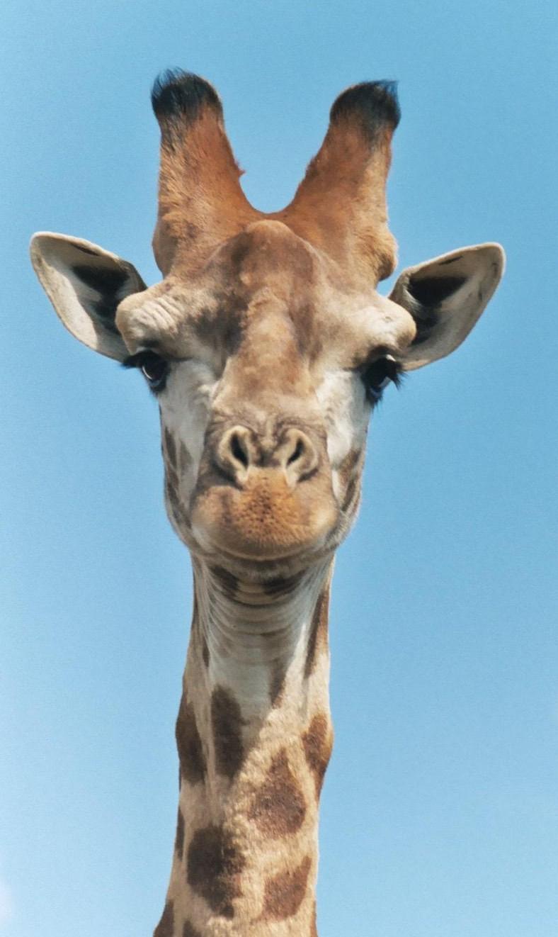 Giraffe M Smother Goose: ...