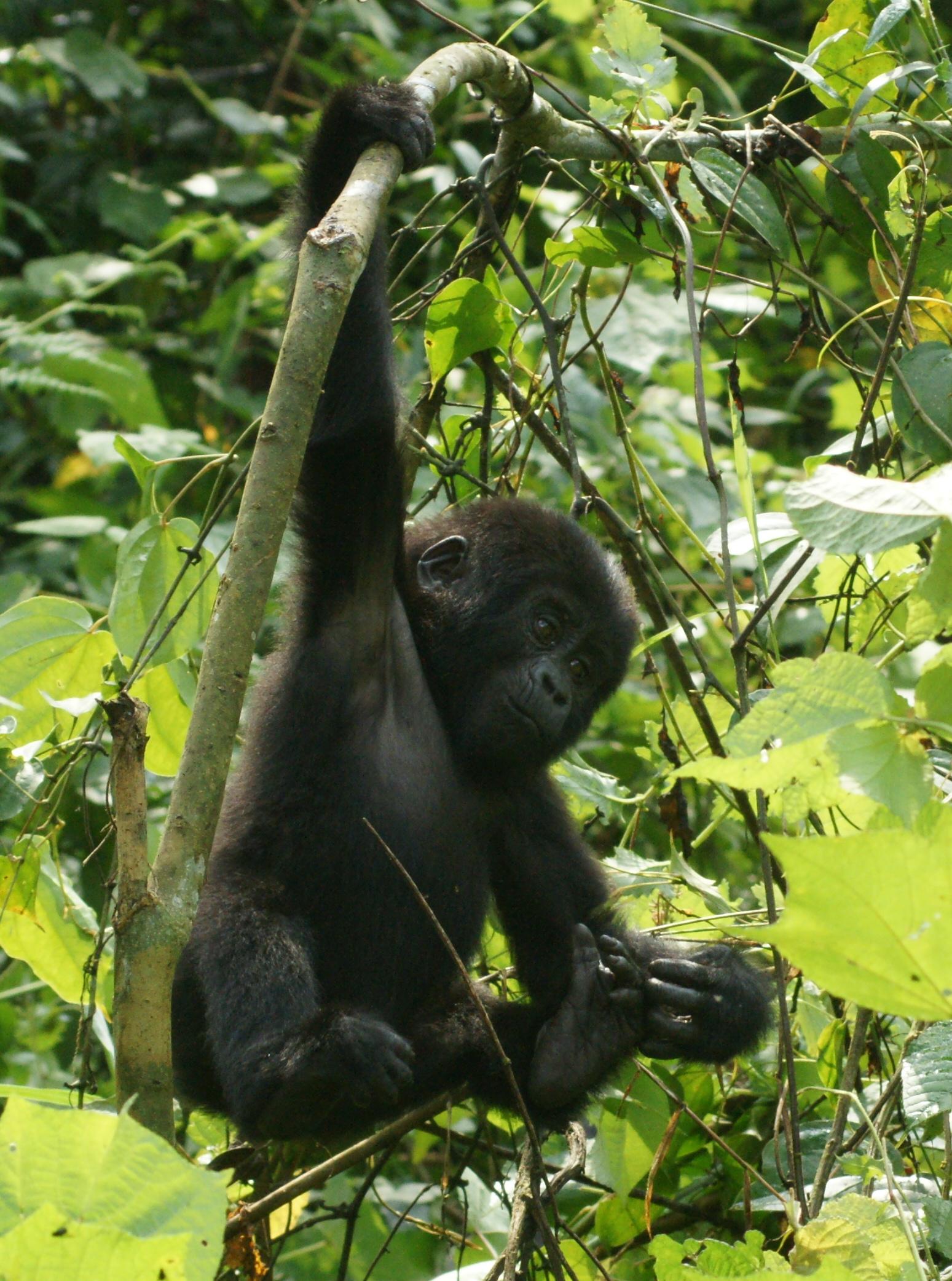 Swinging ape jpg