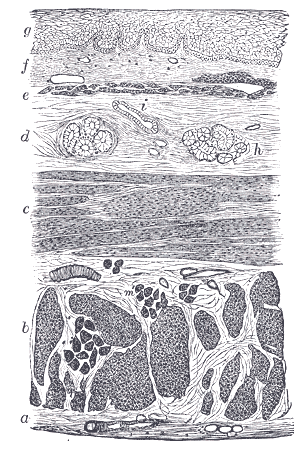 Depiction of Mucosa