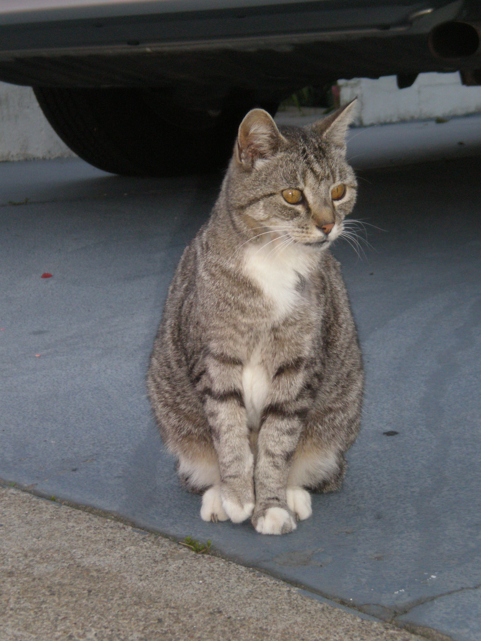 Gray Tabby Cats Pictures
