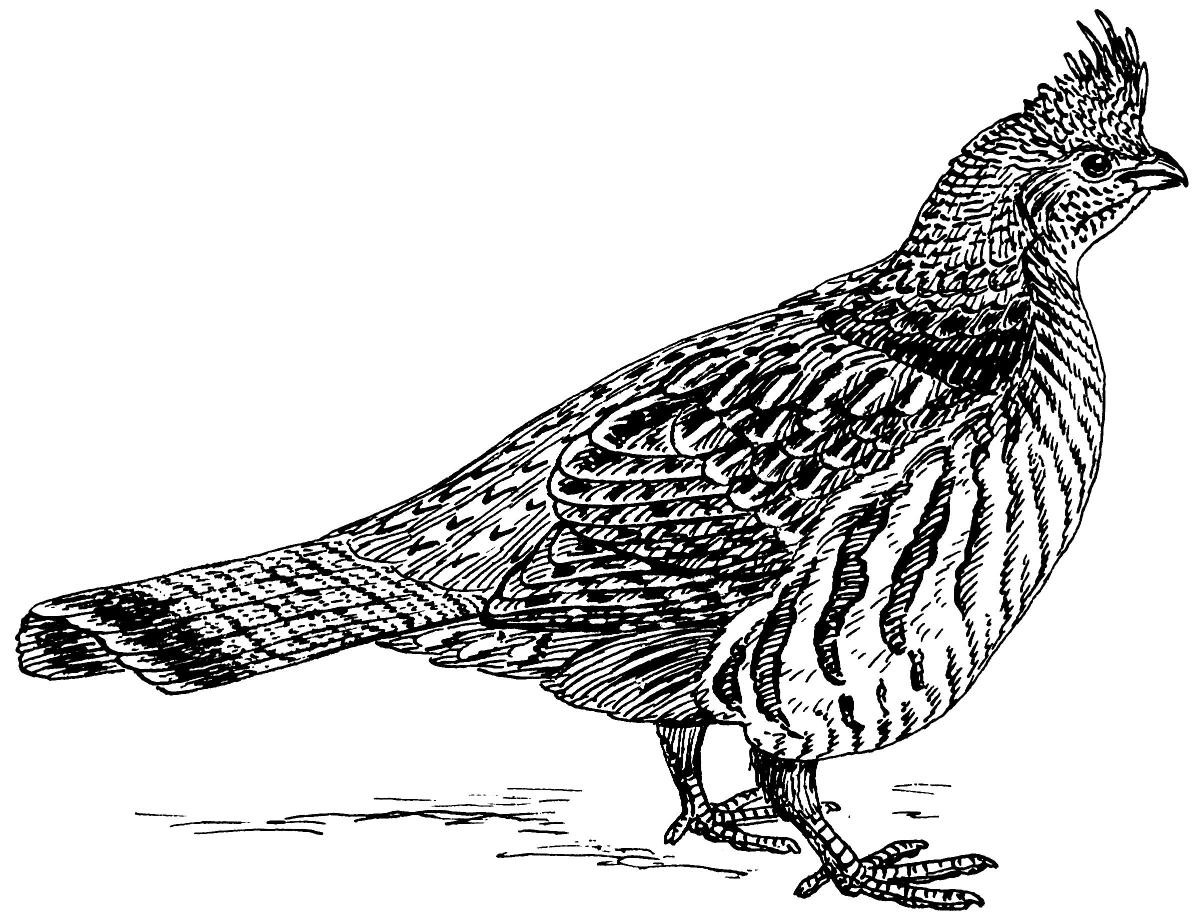quail clip art black and white