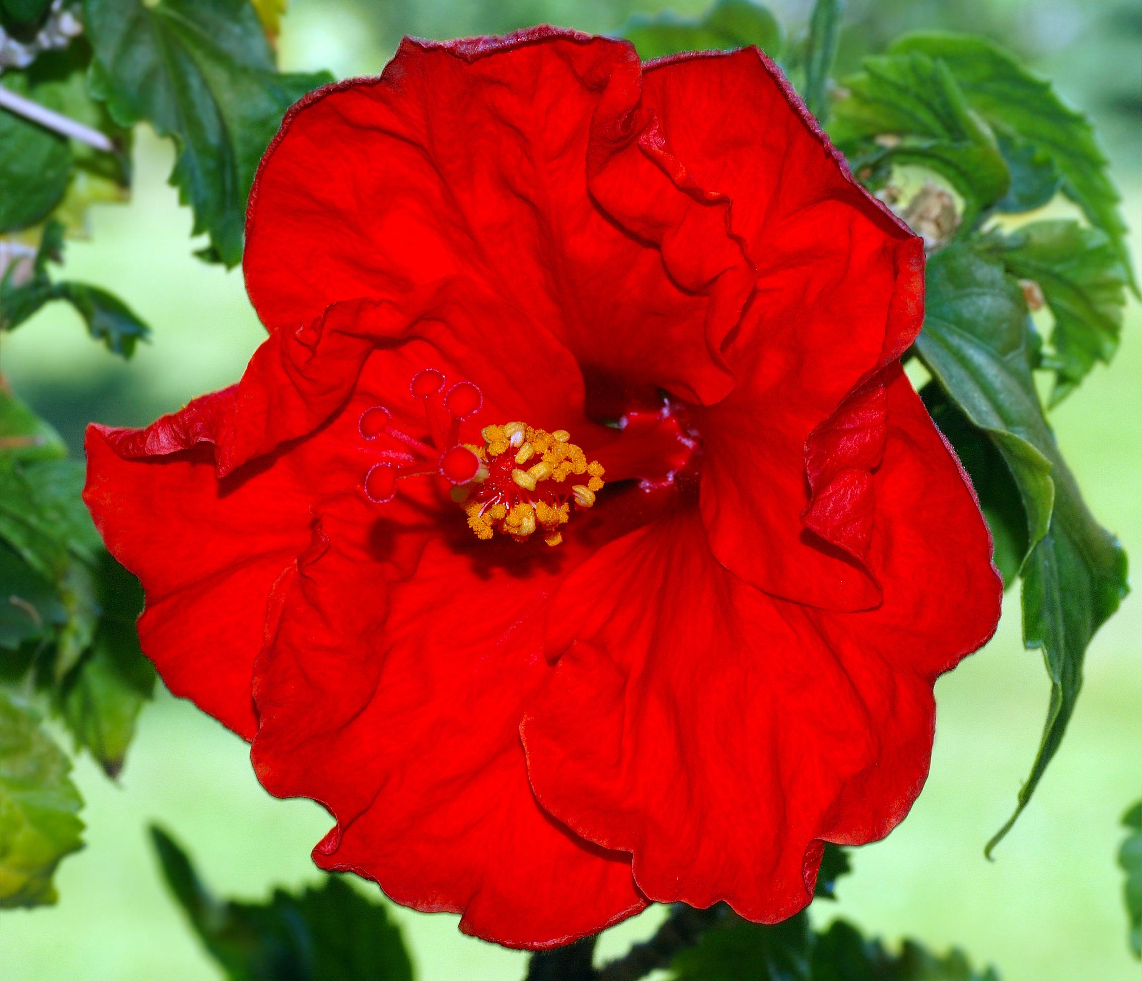 file hibiscus rosa sinensis aka jpg. Black Bedroom Furniture Sets. Home Design Ideas