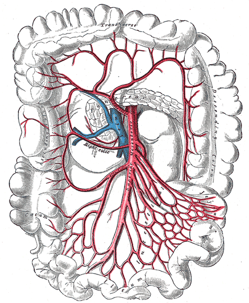 Arteria mesenterica superior – Wikipedia