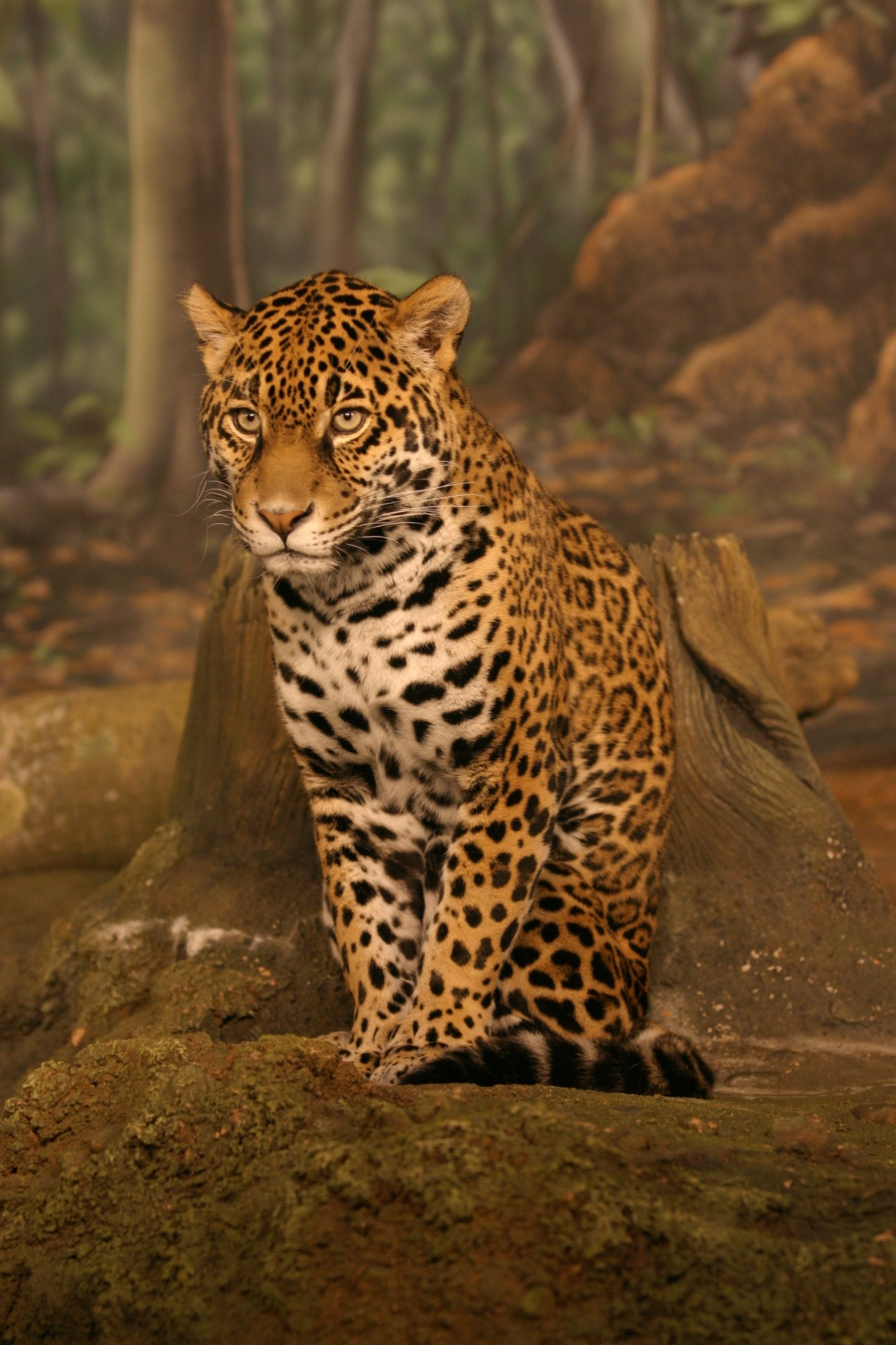 Jaguar (from C. Burnet, Creative Commons Attribution ShareAlike)