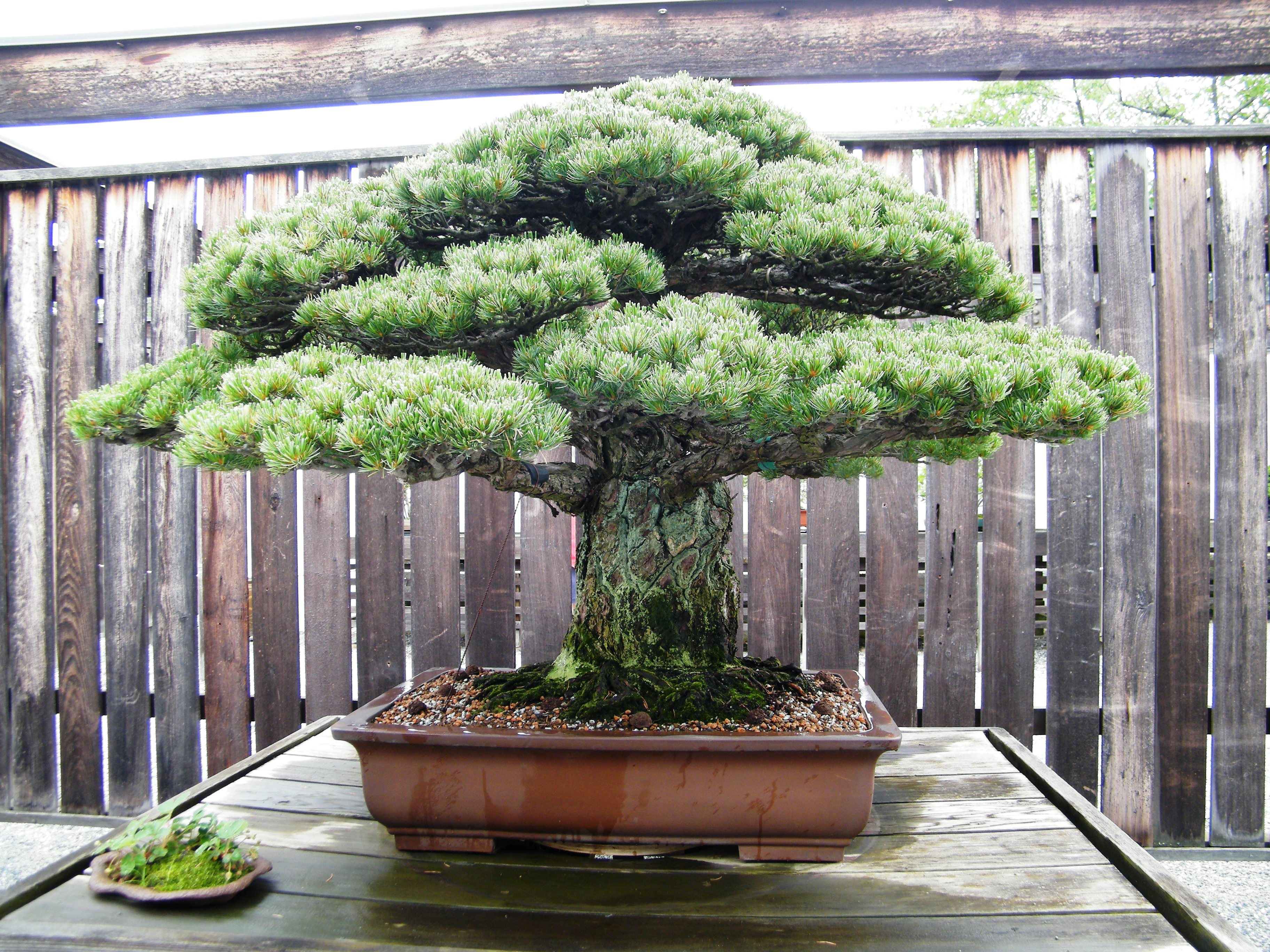 File Japanese White Pine National Bonsai Penjing Museum Washington D C Stierch Jpg Wikimedia Commons