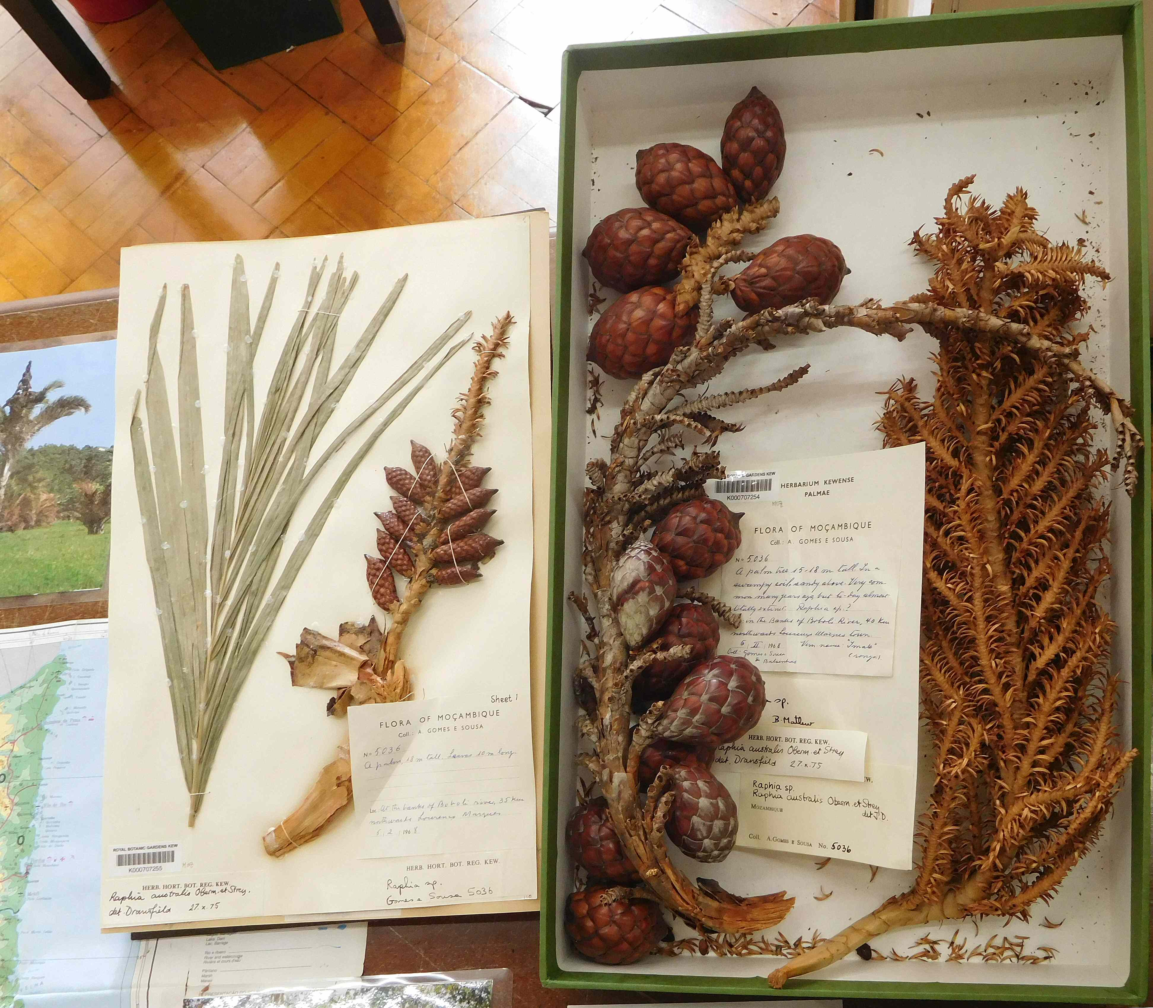 File:Kew Herbarium pressed and boxed specimens of Raphia