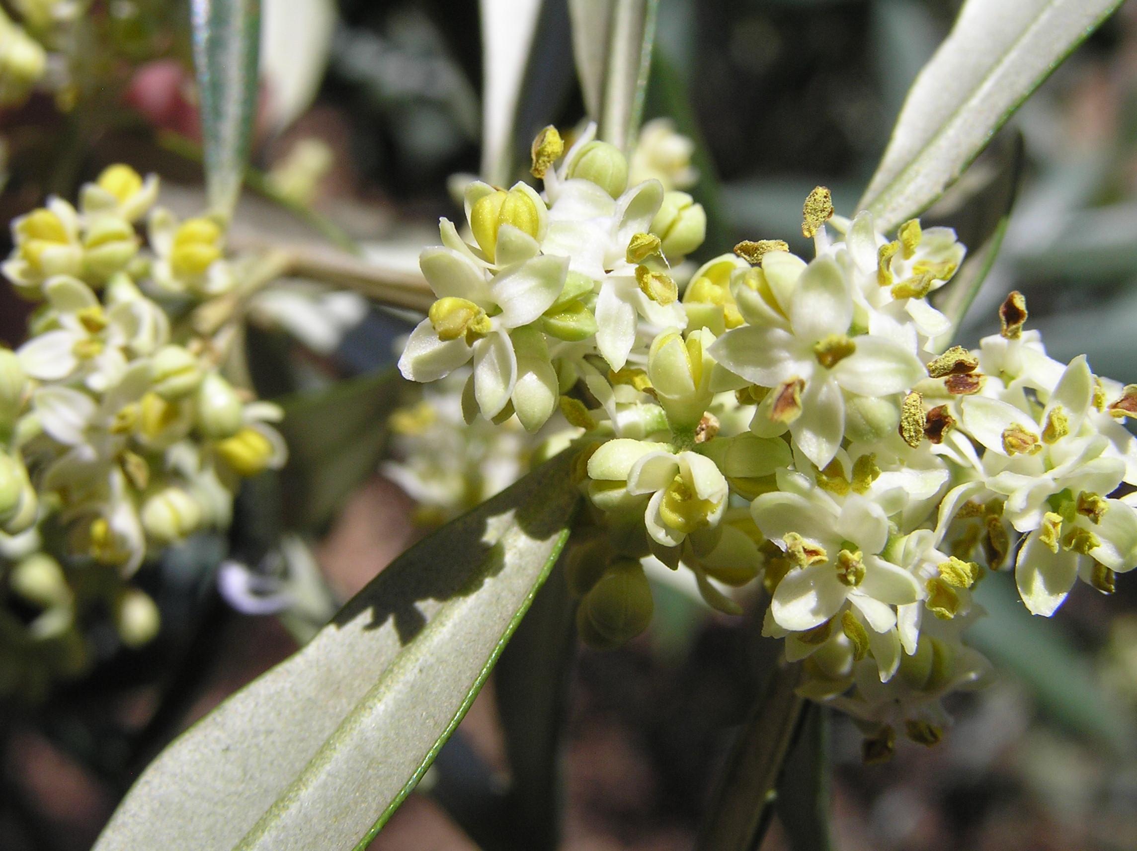 Archivo:La flor del olivo.JPG - Wikipedia, la enciclopedia libre