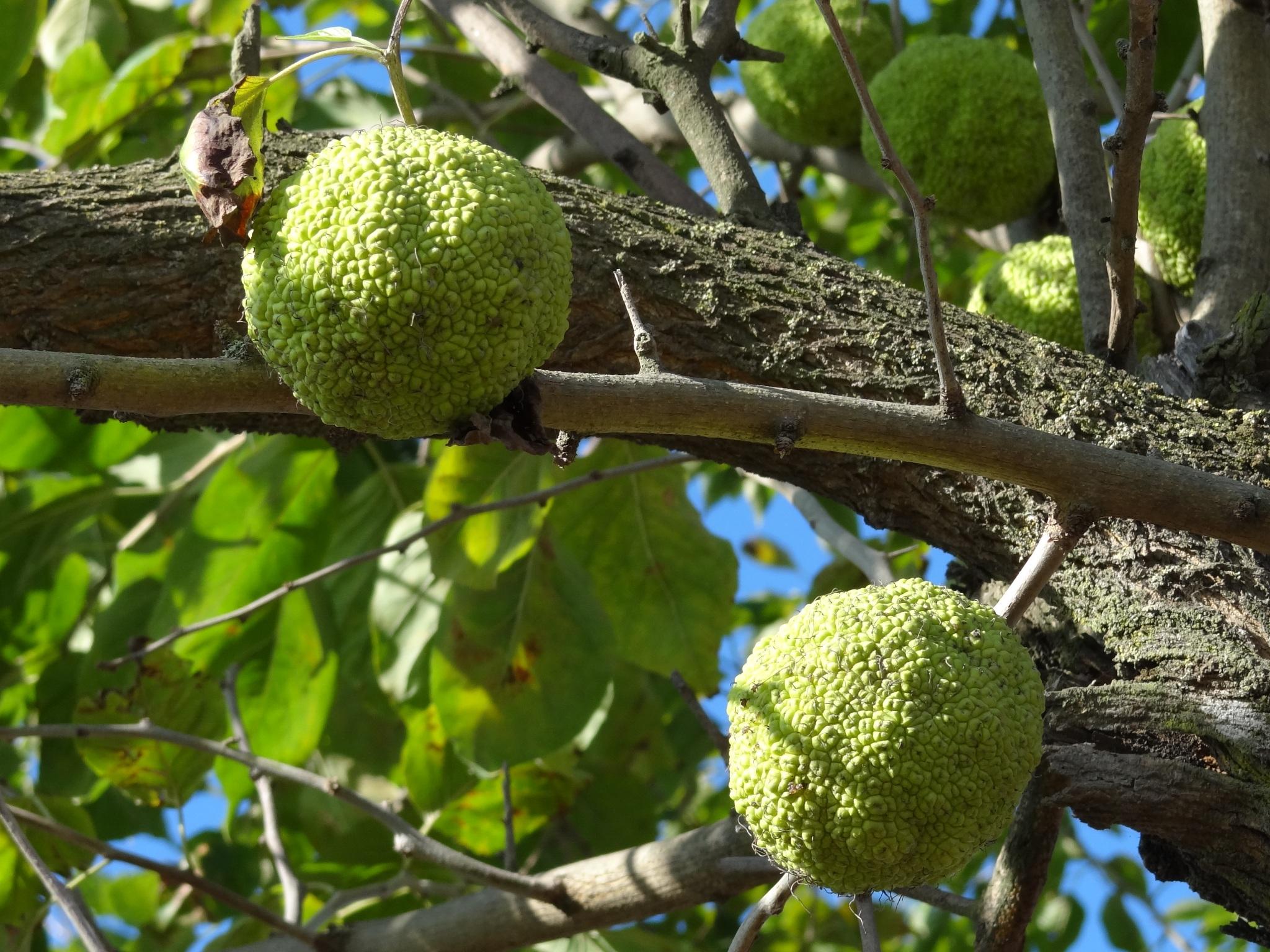 filemaclura pomiferajpg wikimedia commons