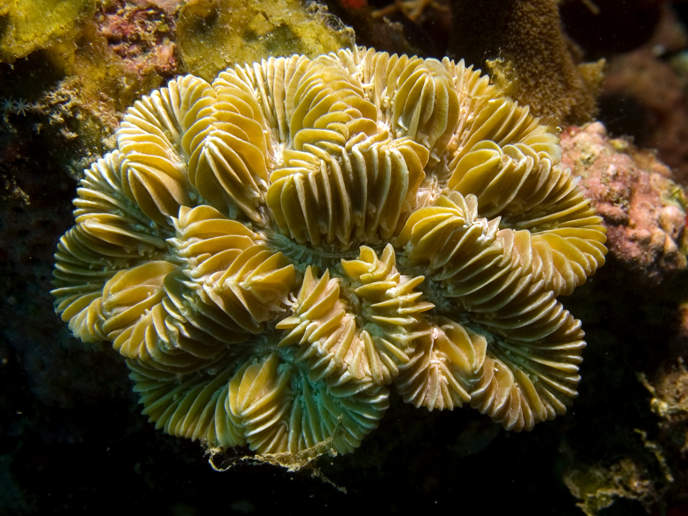 Meandrina meandrites (Maze Coral)
