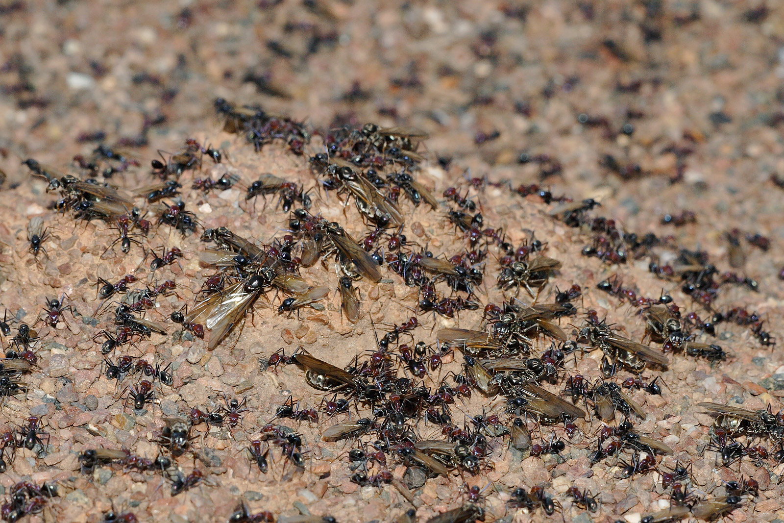 A Swarm Of Locusts - Dislodged