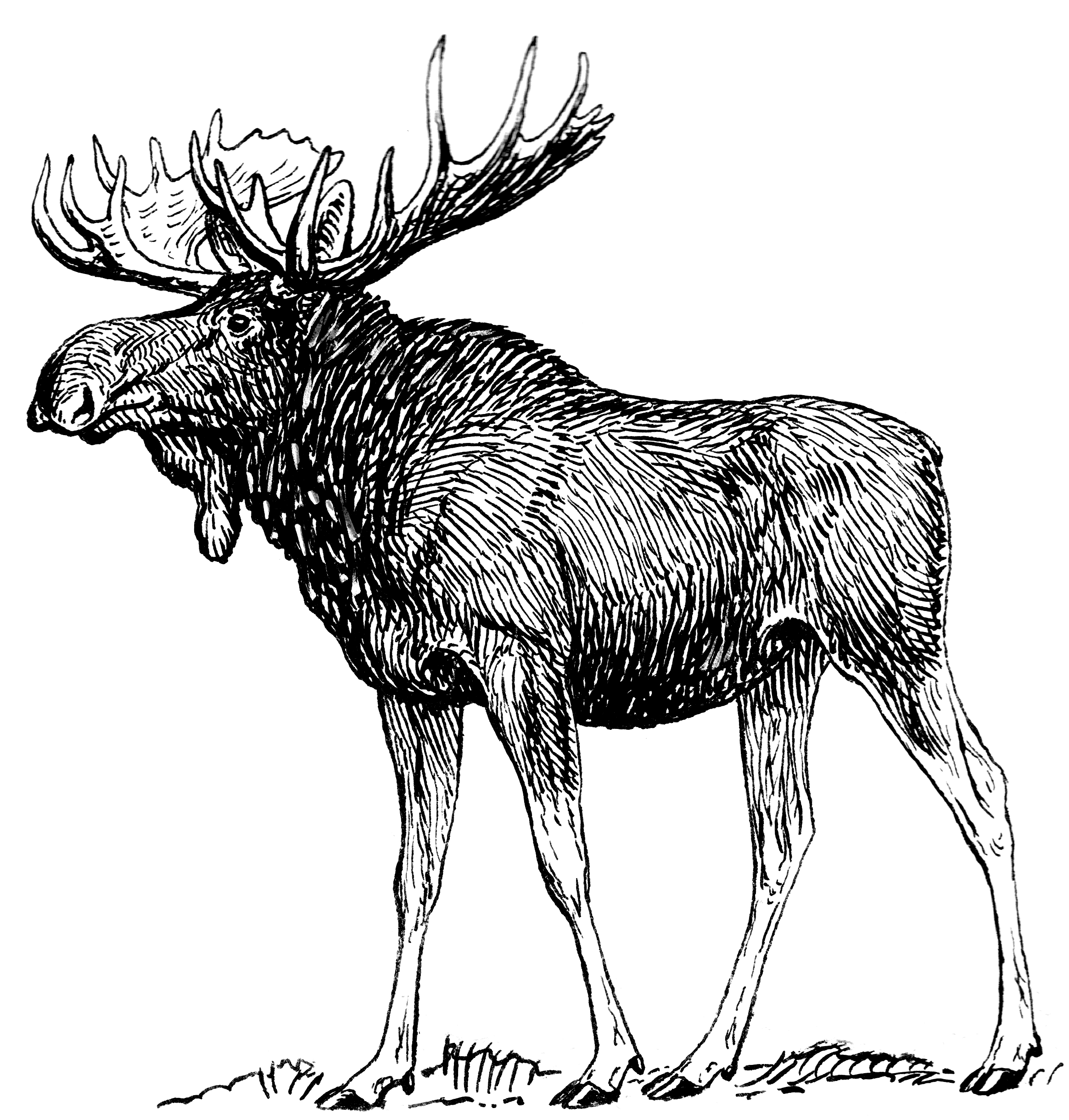 File moose psf png wikimedia commons for How to draw a moos