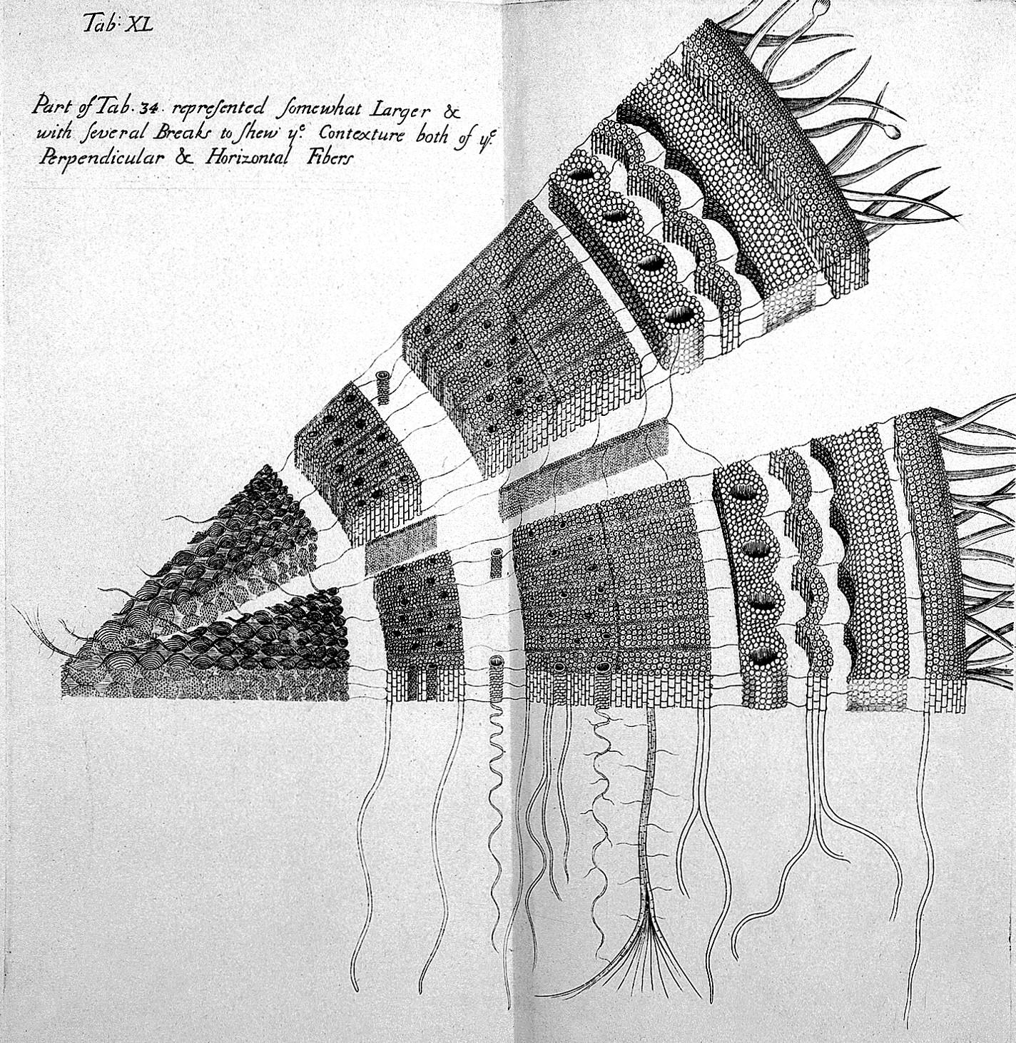 Filen Grew The Anatomy Of Plants Wellcome L0023901g
