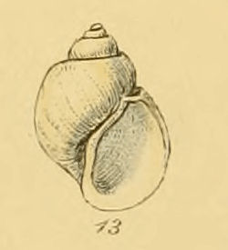 Natica helicoides (Sowerby).jpg