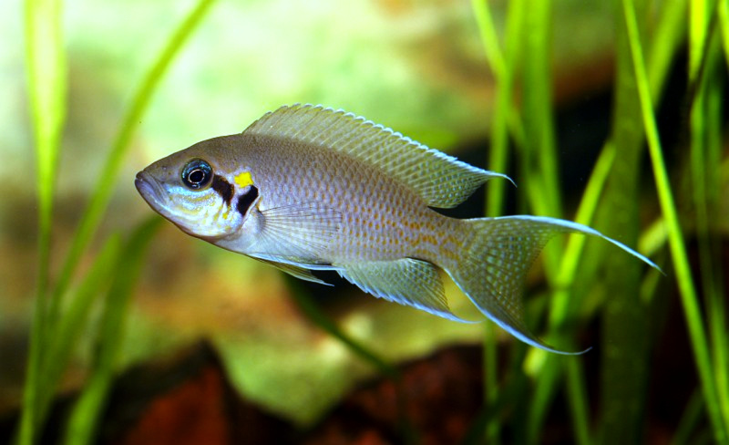 Neolamprologus brichardi young