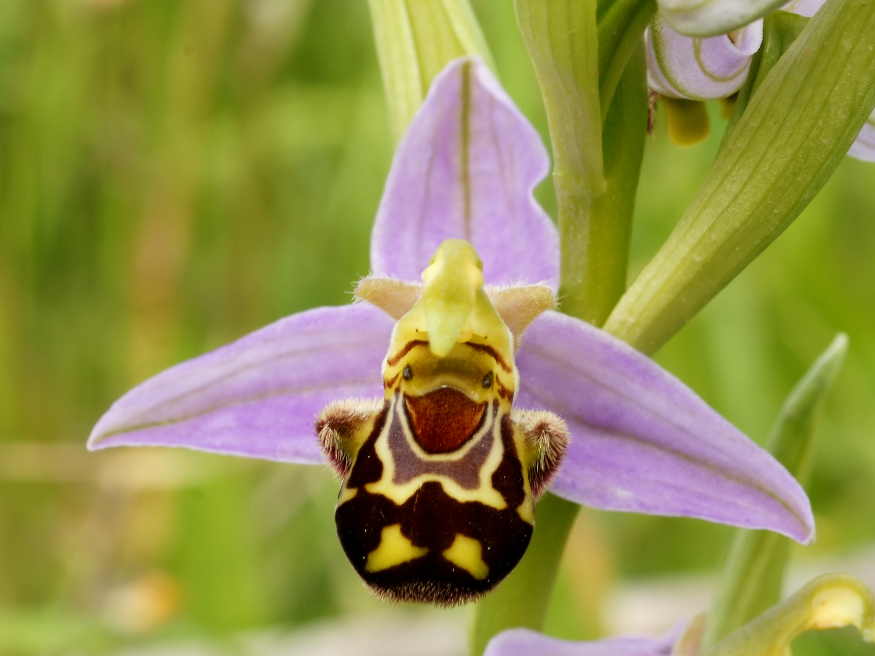Image result for Bee Orchid (Ophrys Apifera)