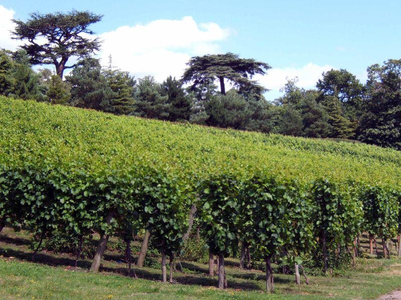 Painshill Park vinyard