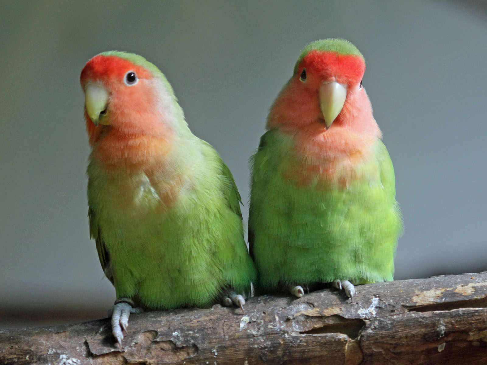 file peach faced lovebird rwd     wikimedia commons