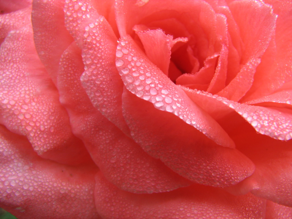 Filepink rose with raindrops 237031835g wikimedia commons filepink rose with raindrops 237031835g altavistaventures Image collections