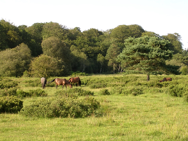 Ponies grazing south of Denny Wood, New Forest - geograph.org.uk - 28321