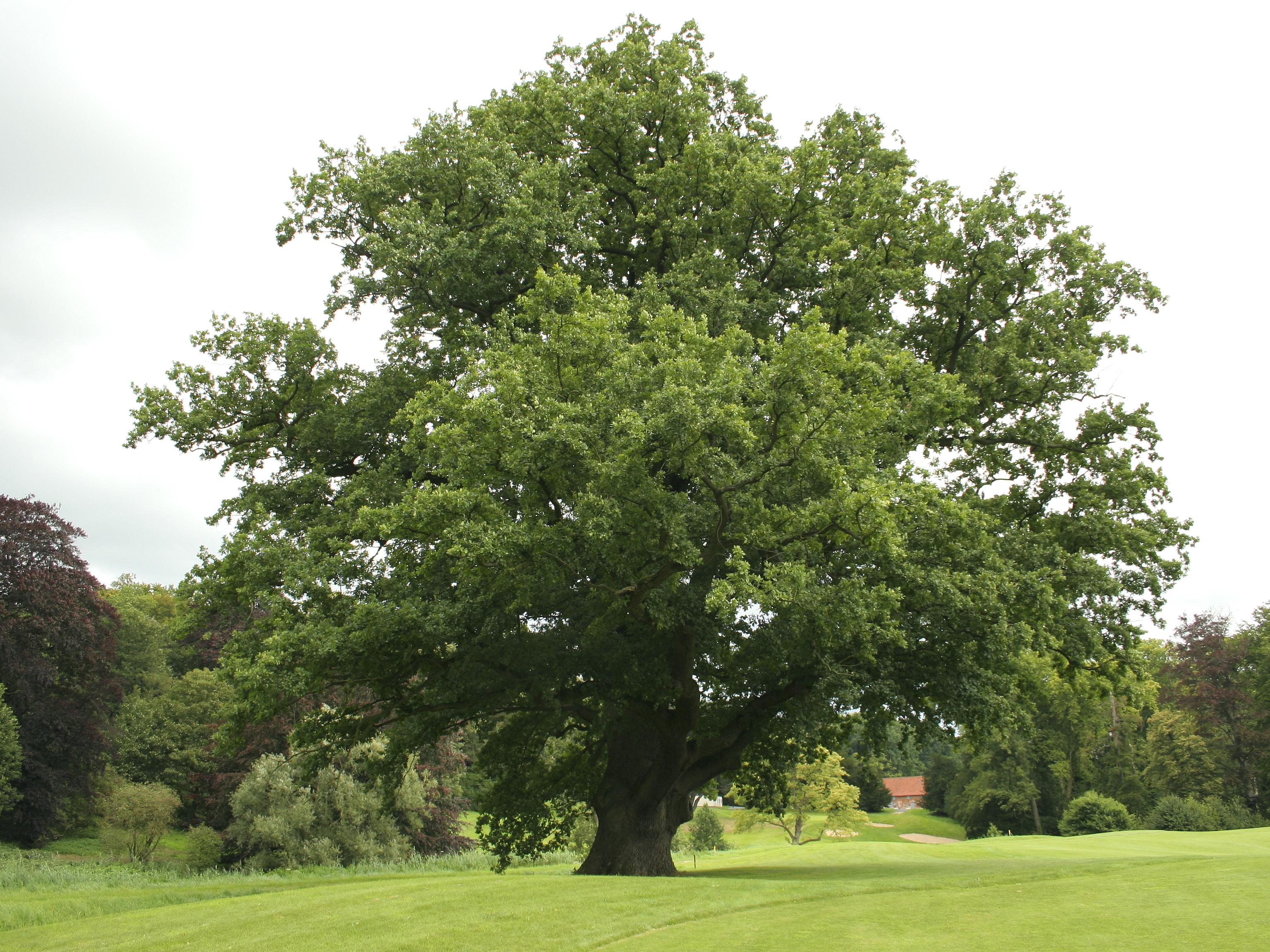 Quercus holly oak oak tree - Fotos del roble ...