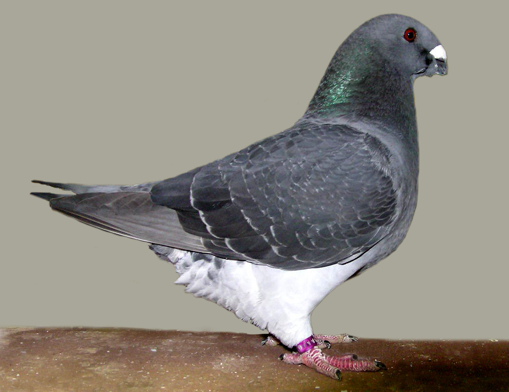 black checkered pigeon