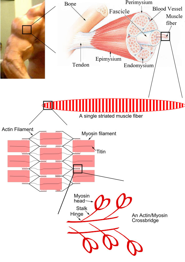 Pathology Outlines Skeletal Muscle Normal