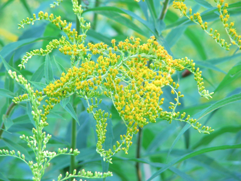 http://upload.wikimedia.org/wikipedia/commons/e/ef/Solidago-graminifolia-goldenrod-0a.jpg