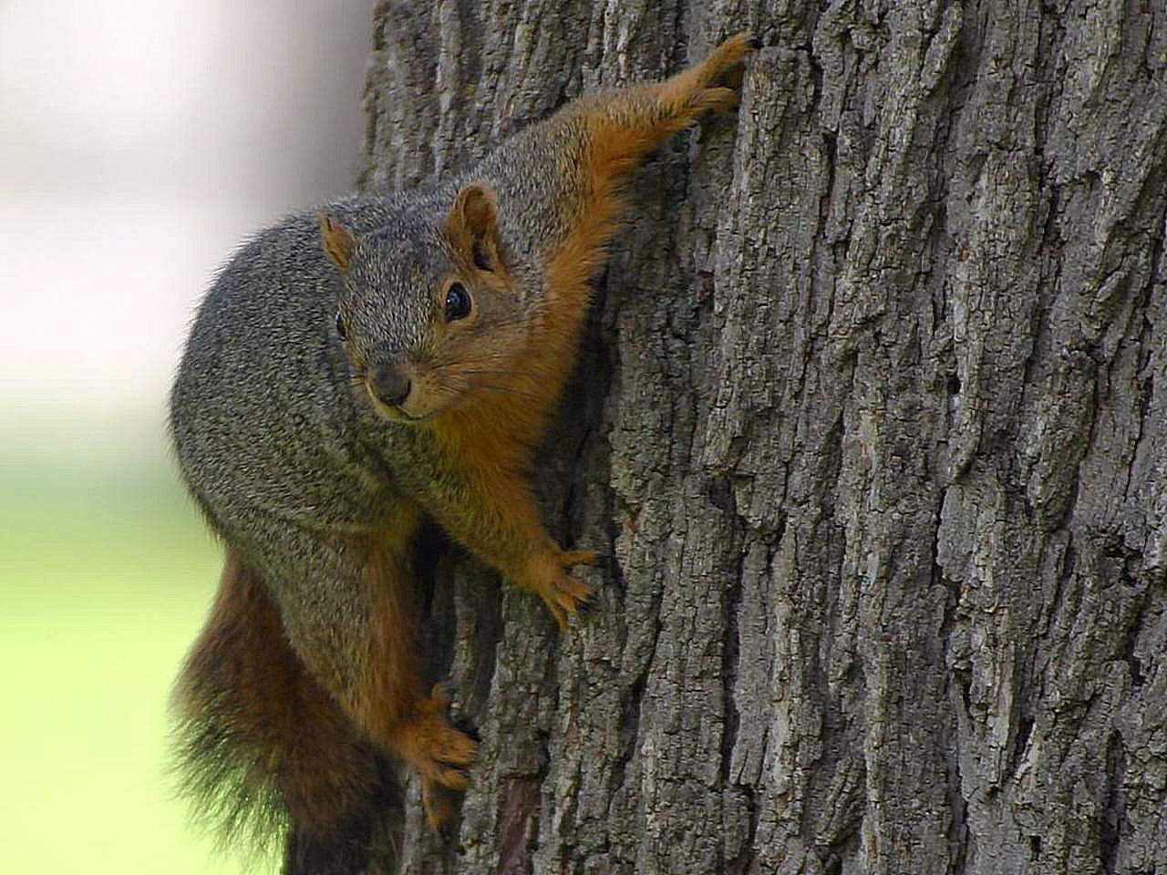 A picture of a squirrel climbing a tree.