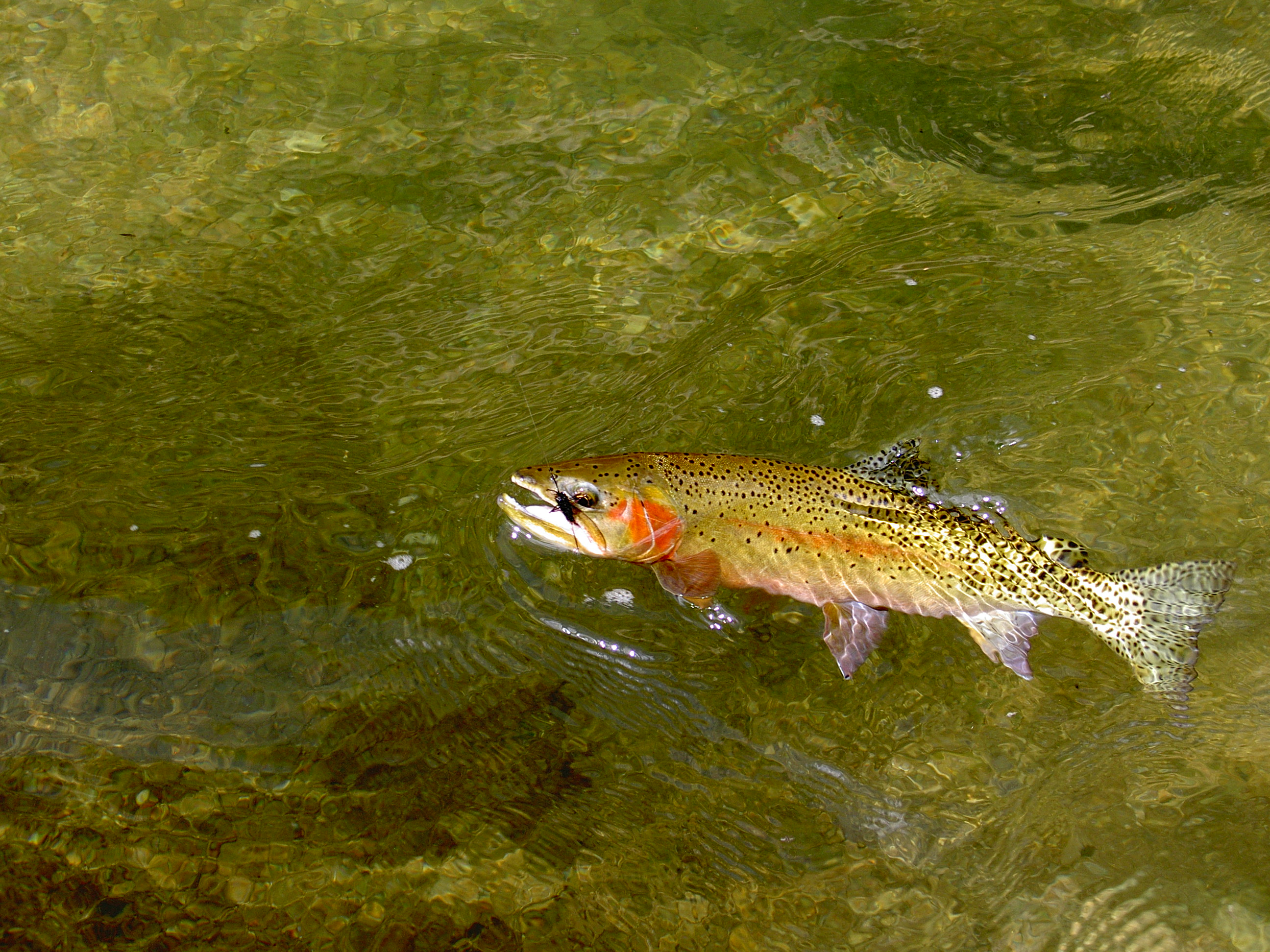 Cutthroat Trout Wallpaper