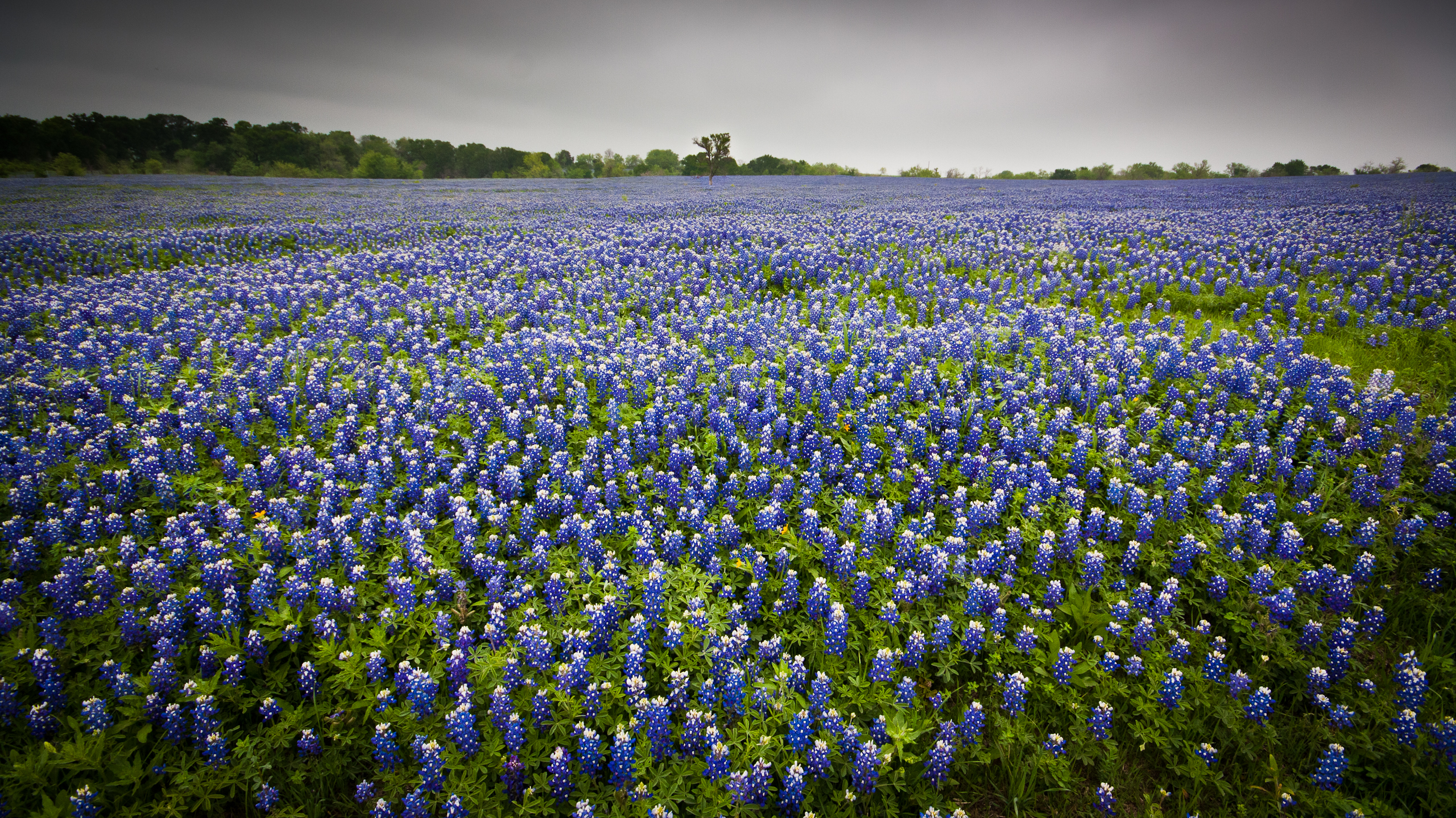 File Texas Bluebonnets 7066452003 Jpg Wikimedia Commons