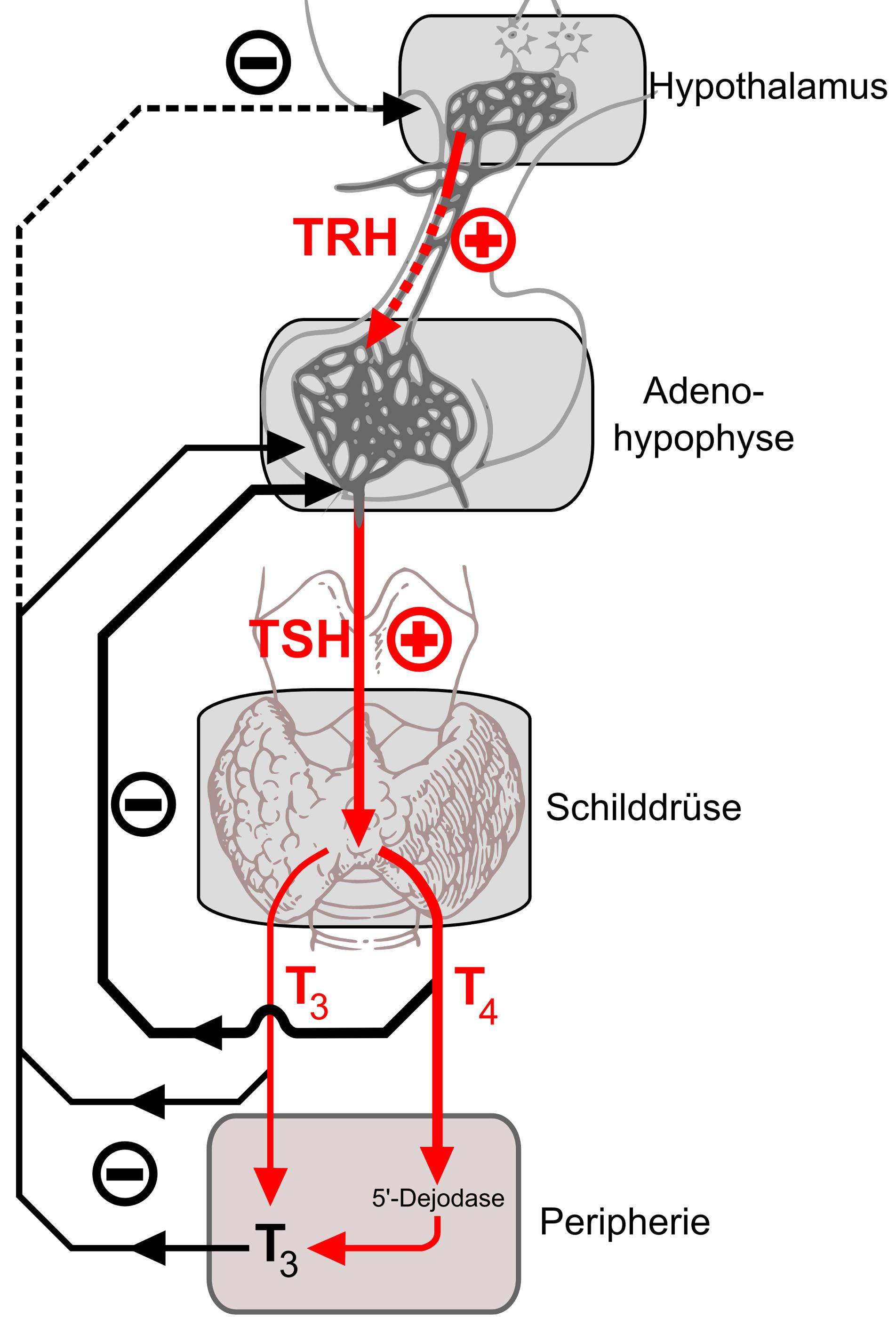 stoffwechsel schilddrüse
