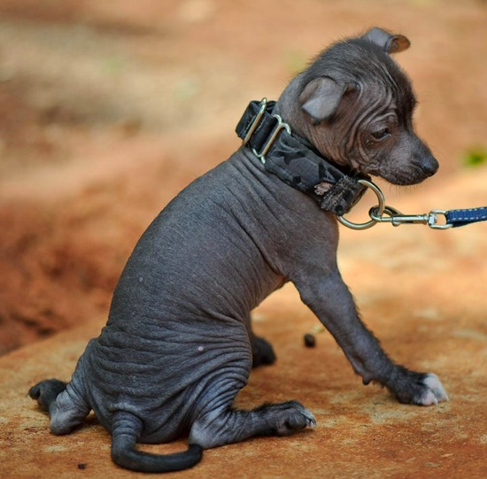 Xoloitzcuintli Dog Pictures